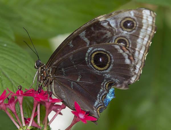 Photograph - Blue Morpho Butterfly by Sean Allen