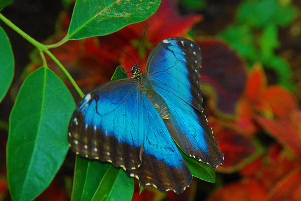 Photograph - Blue Morpho Butterfly by Tam Ryan