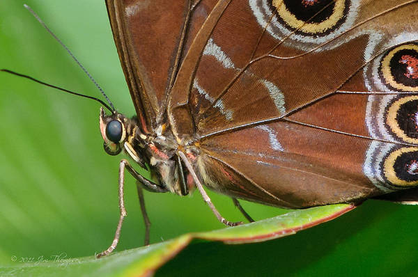 Photograph - Blue Morpho by Jim Thompson