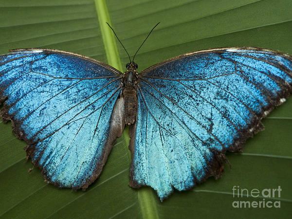 Faunal Photograph - Blue Morpho - Morpho Peleides by Heiko Koehrer-Wagner