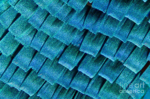 Photograph - Blue Morpho Wing Scales by Raul Gonzalez