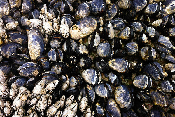 Photograph - Blue Mussels by Crystal Hoeveler