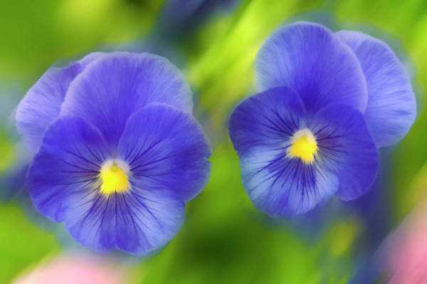 Biennial Photograph - Blue Pansies (viola X Wittrockiana) by Maria Mosolova/science Photo Library
