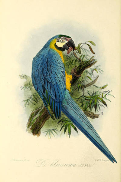 Parrot Painting - Blue Parrot by Dreyer Wildlife Print Collections