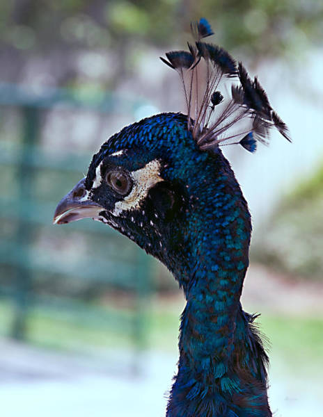 Photograph - Blue Peacock by Donna Proctor