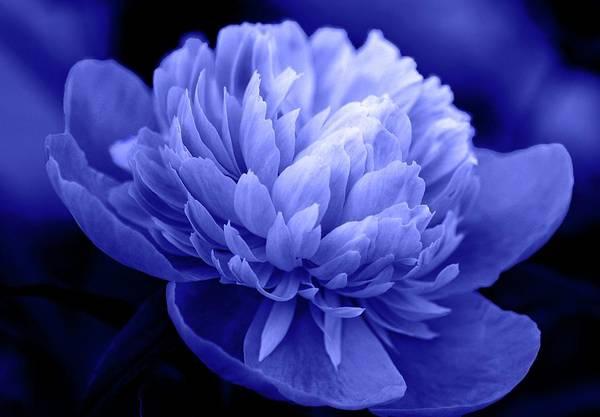 Photograph - Blue Peony by Sandy Keeton