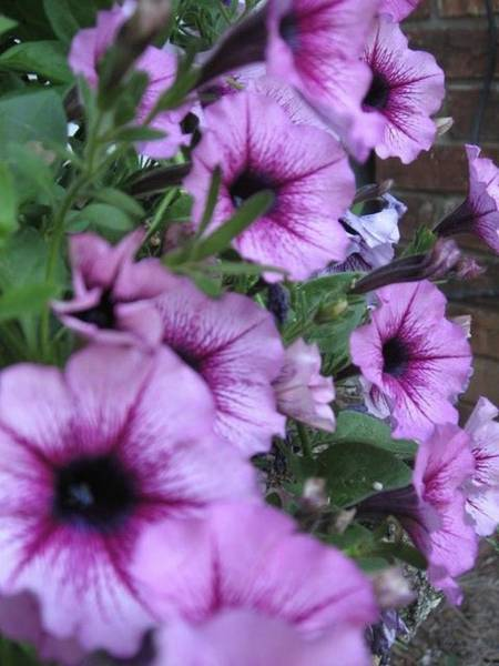 Photograph - Blue Petunias by Deb Martin-Webster