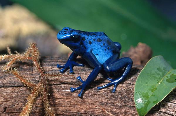 Wall Art - Photograph - Blue Poison Dart Frog by Craig K. Lorenz