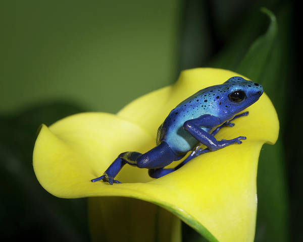 Poison Dart Frog Photograph - Blue Poison Dart Frog by Maresa Pryor