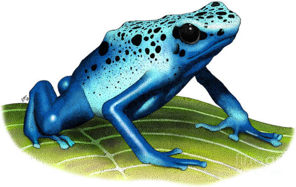 Photograph - Blue Poison Dart Frog by Roger Hall