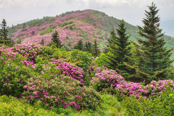 Bald Mountain Photograph - Blue Ridge Mountain Rhododendron - Roan Mountain Bloom Extravaganza by Bill Swindaman