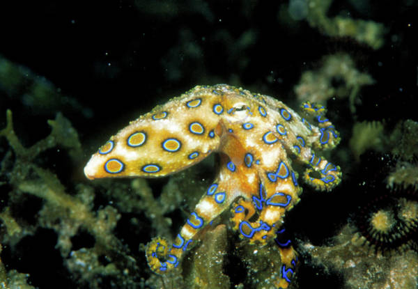 Mabul Photograph - Blue Ringed Octopus by Matthew Oldfield/science Photo Library