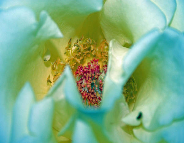 Photograph - Blue Rose 2 by Jim Baker