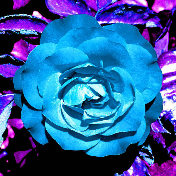 Photograph - Blue Rose Bordered In Purple by Joseph Coulombe