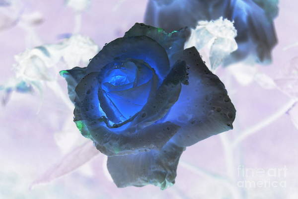Photograph - Blue Rose by Rachael Shaw