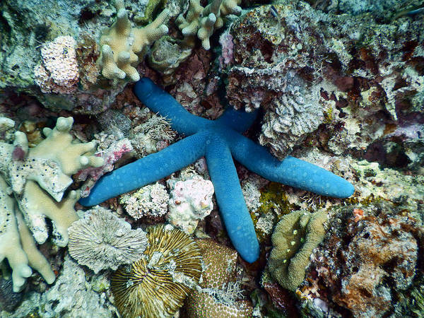 Wall Art - Photograph - Blue Sea Starfish by Carleton Ray