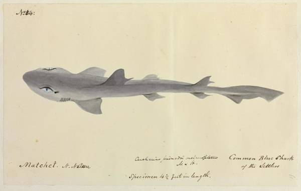 Wall Art - Photograph - Blue Shark by Natural History Museum, London/science Photo Library