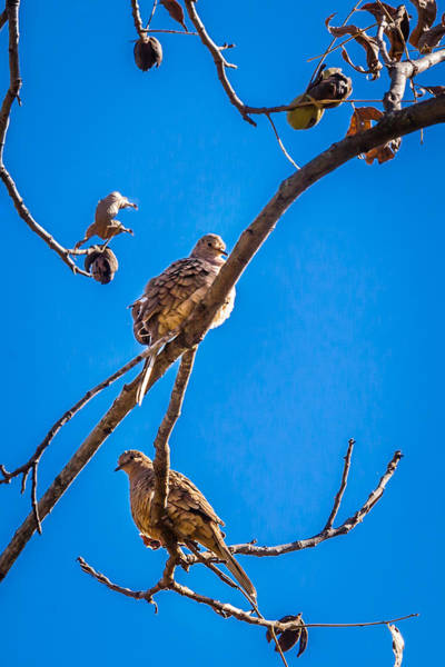 Photograph - Blue Skies Pecans And Doves by Melinda Ledsome