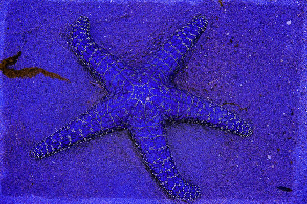 Photograph - Blue Star by Roxy Hurtubise