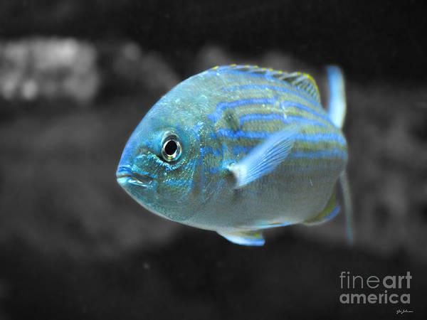 Photograph - Blue Striped Fish by Jai Johnson