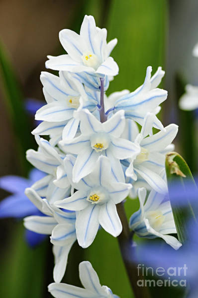 Photograph - Blue Striped Squill by Larry Ricker