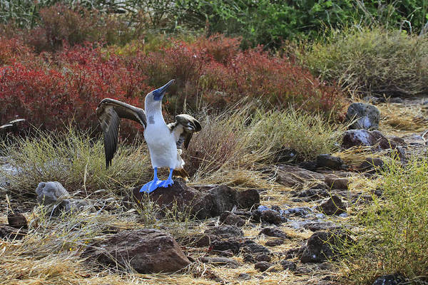 Blue Footed Booby Wall Art - Photograph - Blue Suede Shoes by Gary Hall