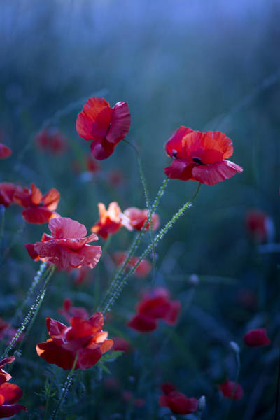 Red Poppies Wall Art - Photograph - Blue Summer IIi by Magda  Bognar