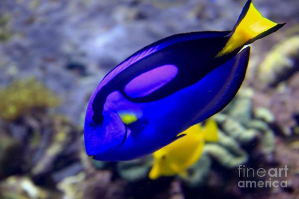 Photograph - Blue Tang Dory by Richard Lynch