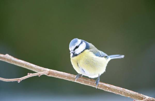Tit Photograph - Blue Tit by Dr P. Marazzi/science Photo Library