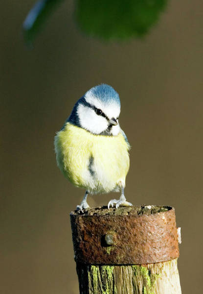 Tit Photograph - Blue Tit by John Devries/science Photo Library