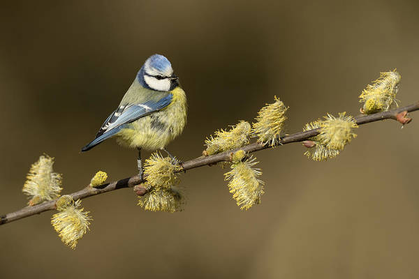 Tit Photograph - Blue Tit Netherlands by Marianne Brouwer