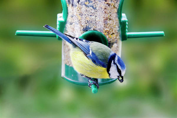 Tit Photograph - Blue Tit On A Feeder by Sheila Terry/science Photo Library