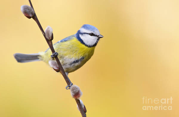 Photograph - Blue Titmouse by Willi Rolfes