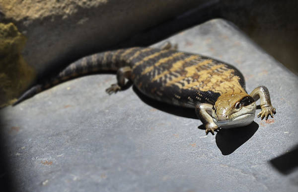 Photograph - Blue Tongue Lizard 2 by Xueling Zou