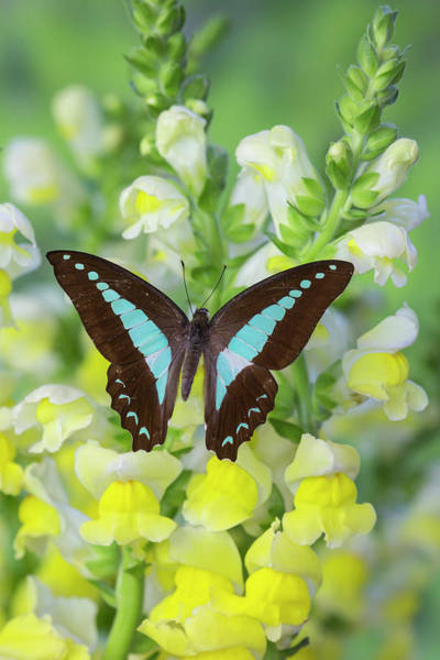 Swallowtail Photograph - Blue Triangle Butterfly, Graphium by Darrell Gulin
