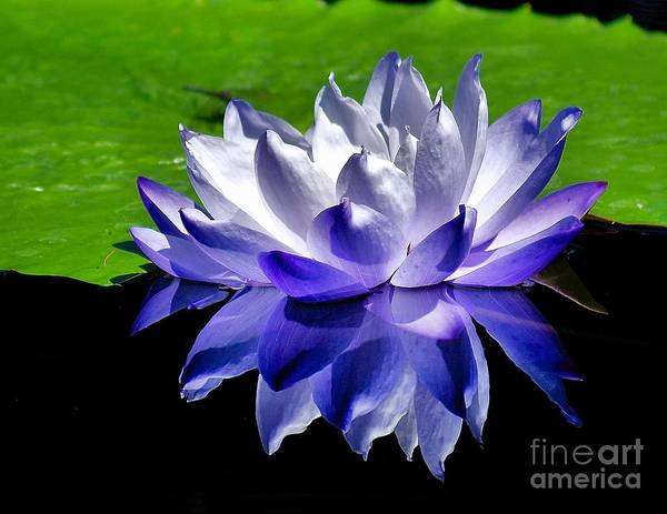 Photograph - Blue Water Lily Reflection by Nick Zelinsky