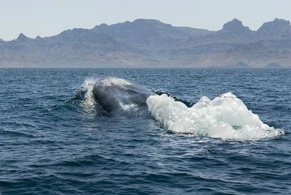 Blowhole Photograph - Blue Whale by Christopher Swann