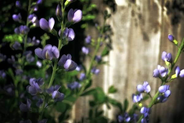 Blue False Indigo Wall Art - Photograph - Blue Wild Indigo - Baptisia Australis by Michelle Calkins