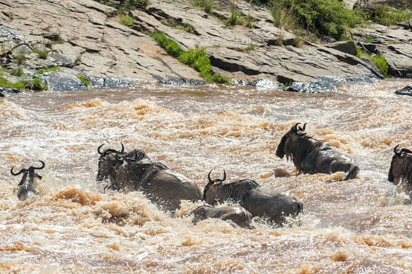 Wall Art - Photograph - Blue Wildebeest Crossing River by James Steinberg