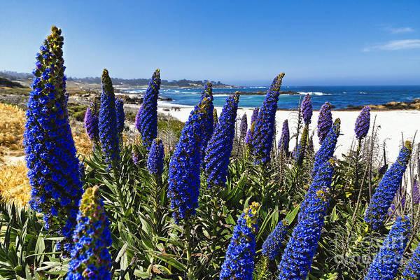 Wall Art - Photograph - Blue Wildflowers Of Pebble Beach by George Oze