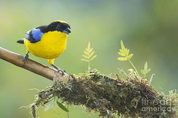Blue-winged Mountain Tanager Art Print