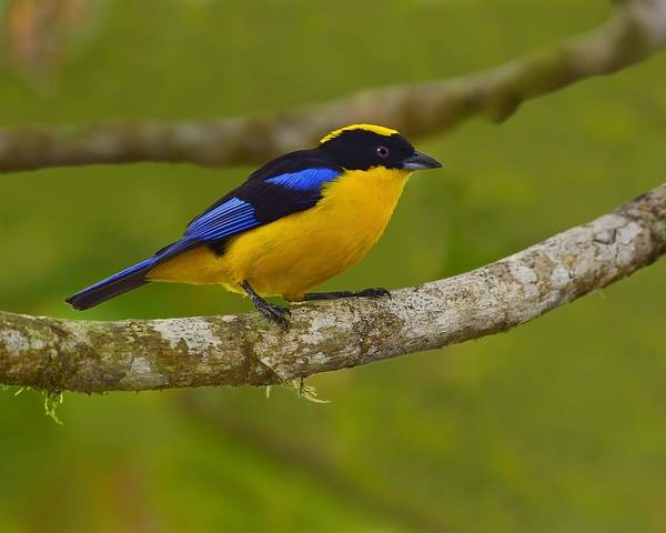 Photograph - Blue-winged Mountain Tanager by Tony Beck
