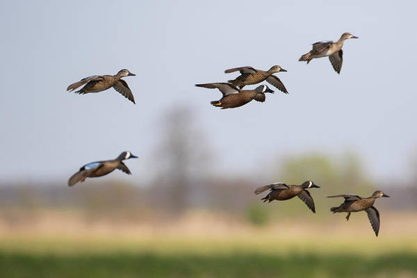 Wall Art - Photograph - Blue-winged Teal (anas Discors by Richard and Susan Day