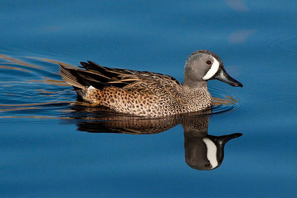 Wall Art - Photograph - Blue-winged Teal Drake by Craig K. Lorenz