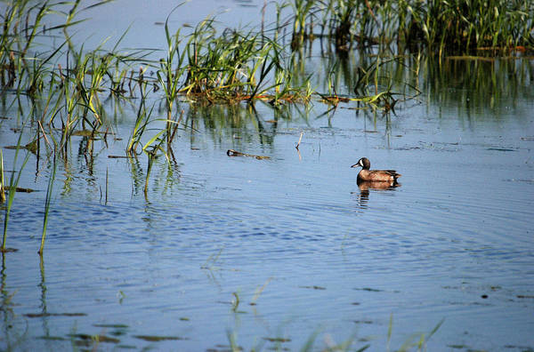 Horicon Marsh Photograph - Blue-winged Teal by Janice Adomeit