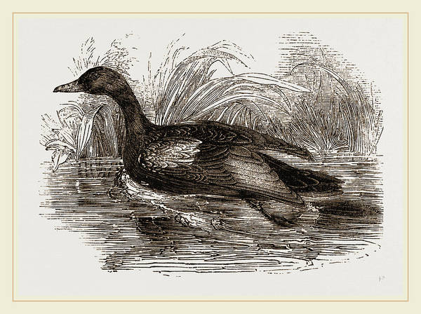 Teal Drawing - Blue-winged Teal by Litz Collection