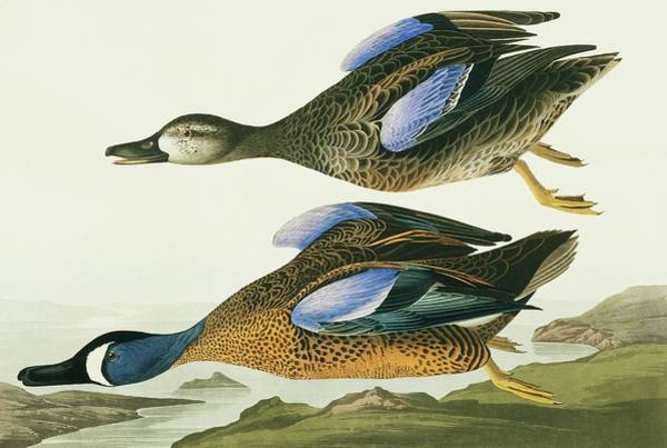 Wall Art - Photograph - Blue-winged Teal by Natural History Museum, London/science Photo Library