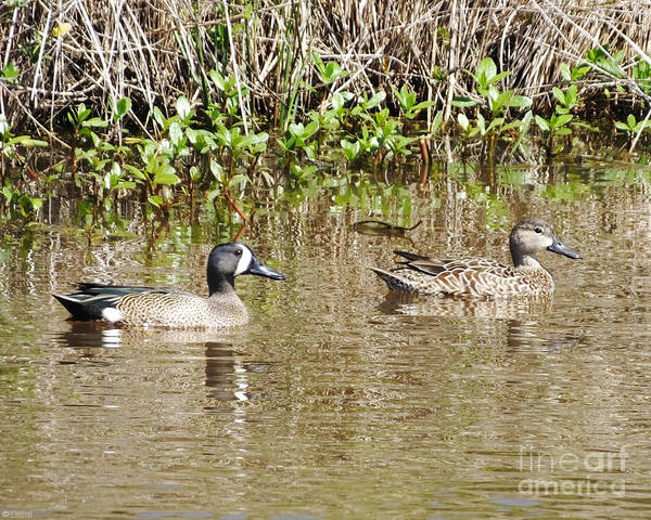 Photograph - Blue Winged Teal Pair by Lizi Beard-Ward