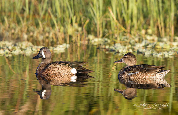 Photograph - Blue-winged Teal Pair by Mike Fitzgerald
