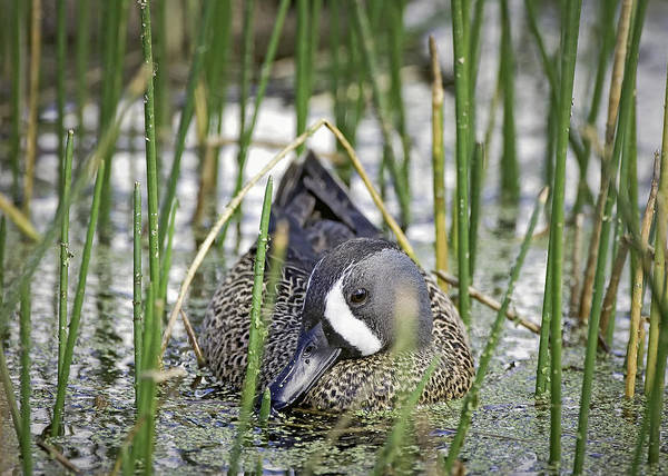 Photograph - Blue-winged Teal by Patrick M Lynch
